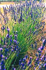 Lavendar Farms